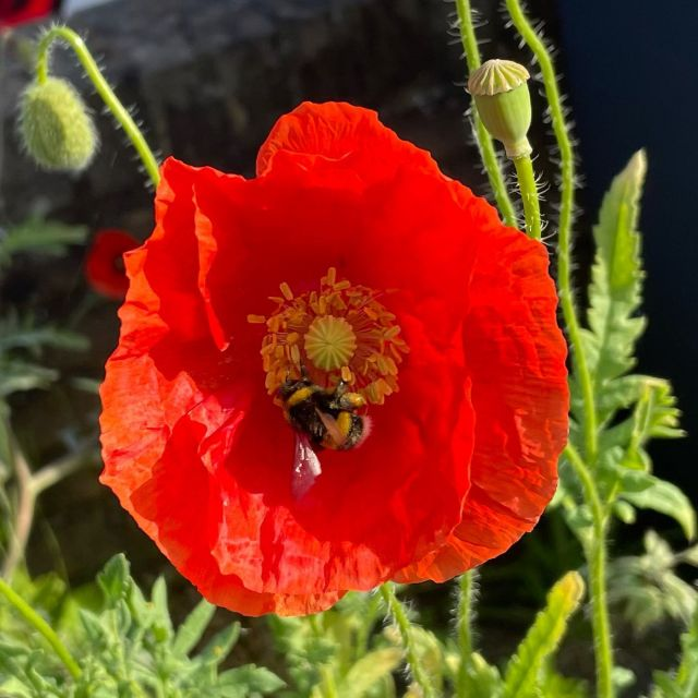 I've heard this week on #radio2 that we've lost a heck of a lot of fields since world war 2.  I think they said over 90% but I'm not absolutely sure.   But the reduction in fields is the reason why our #bees are suffering.   So how delighted I was today when I saw this bee on my #poppy  If you have wild flowers don't get rid of them.  They're not #weeds   Well, they may be, but if they attracts bees then we need to keep them! 🐝   #SwiftMortgages #SwiftMortgagesandFinance #savethebees #saveourfuture #saveourplanet #lovebees #poppy #wildflower #wildflowers #weedsareflowerstoo ❤️
